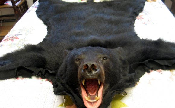 Black Bear Rug taxidermy