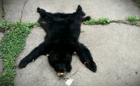 Black Bear Pelt