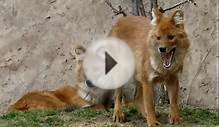 American Red Fox Facts - Facts About American Red Foxes