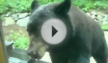 Playing hide and seek with black bear