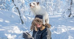 What does the fox say? Photographer Pal Jakobsen captured the moment an arctic fox, critically endangered within Norway, jumped onto the head of his friend Lene